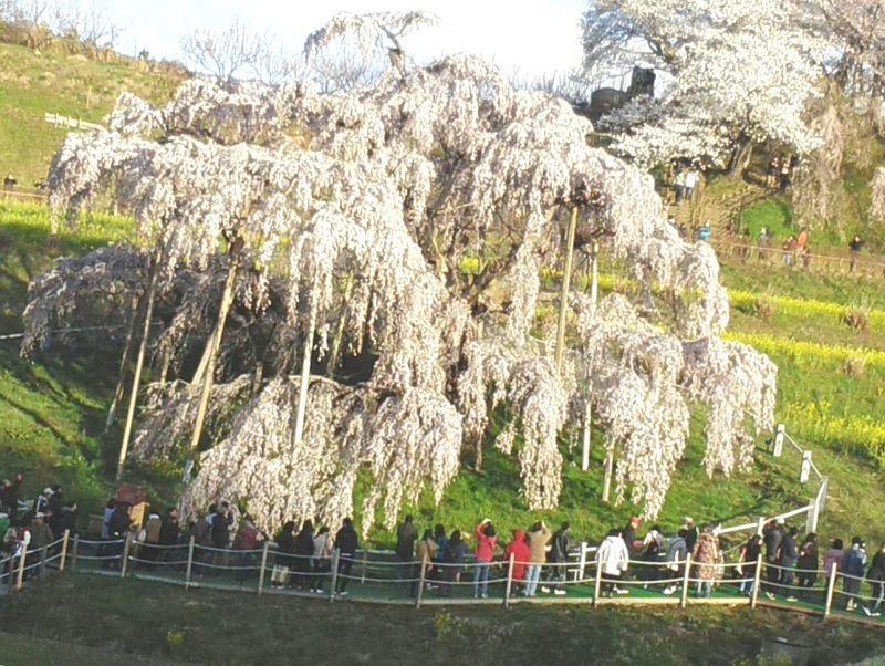 **花さか熊爺さん 三春の滝桜 一夜で満開に***