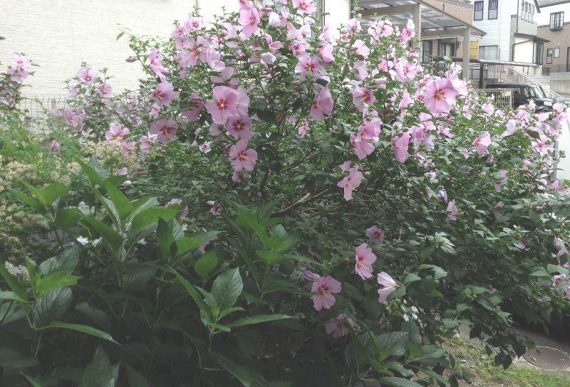 **芙蓉の花**雨宿り