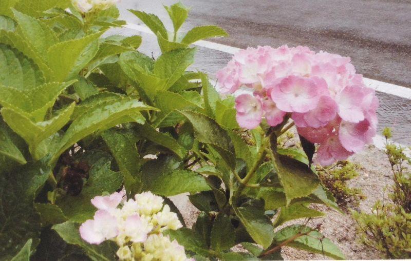 **福島県・熊さん便り**  紫陽花