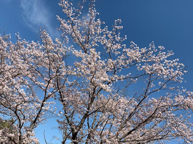 **京都精華町の市民公園の桜**