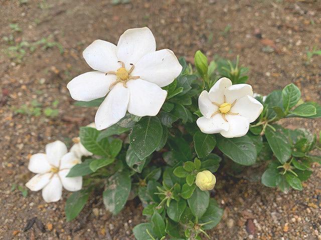 **梔子の花**