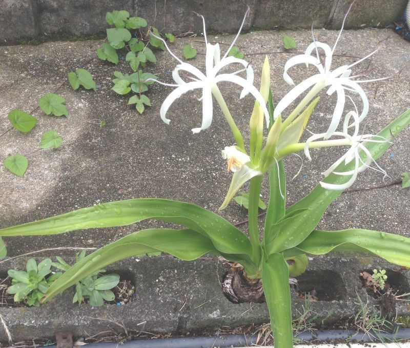 ◎自力で芽を出さないと、この白い花も咲かない 『浜木綿』