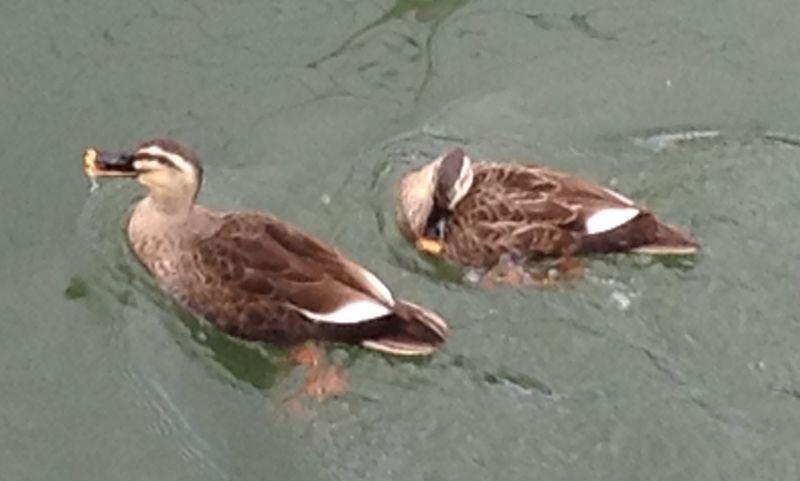 ◎琵琶湖疏水の鴨