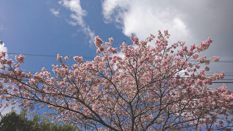 **桜が咲きました**鹿児島県出水市**