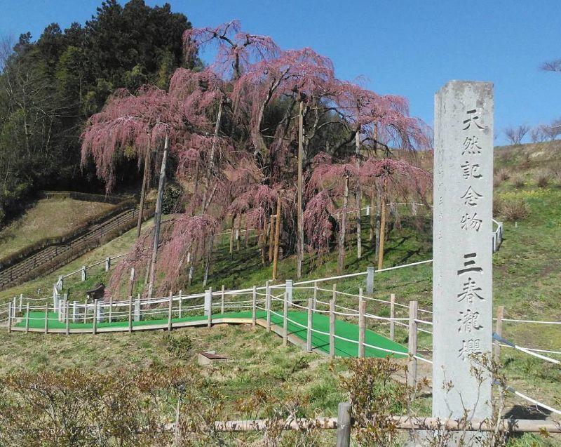 **福島県・三春の滝桜**