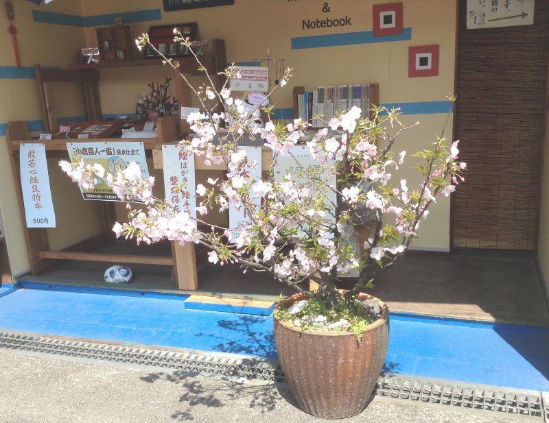 我が家の鉢植えの桜も満開になりました。