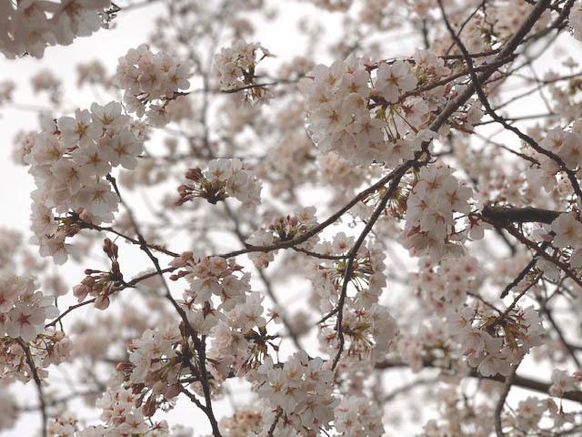 """**奈良と京都の境目の""""サクラ""""満開"""