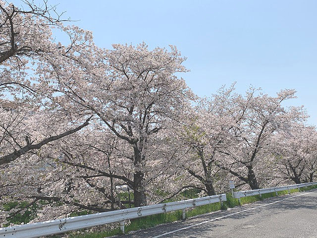 ◎奈良県 ~佐保川の桜~