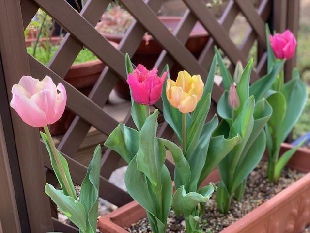 ◎春と言えば ♪咲いた♪咲いたチューリップの花が