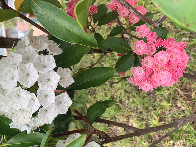 ◎カルミア の花