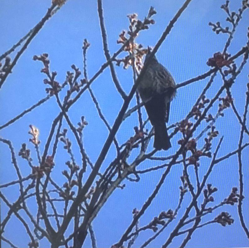 ◎ 桜のつぼみ と ツグミ 琵琶湖疏水縁