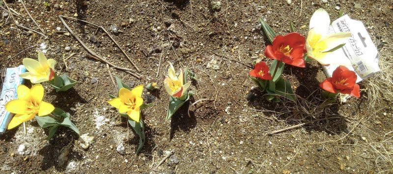 ◎度重なる地震にも、ひつこいコロナ野郎にも負けず、東北では早咲きの。。。