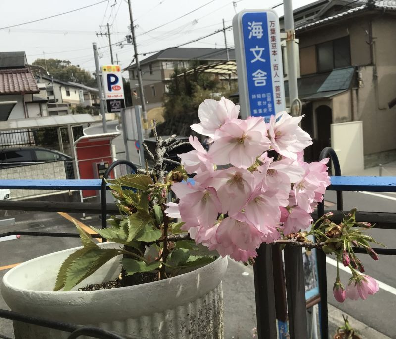 鉢植えの桜~ほぼ満開
