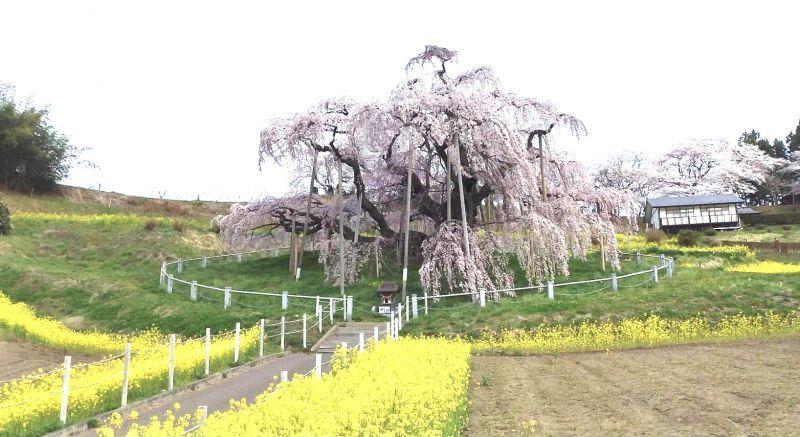 """◎福島県三春町から """"滝桜"""" 満開の写目メが熊さんから"""