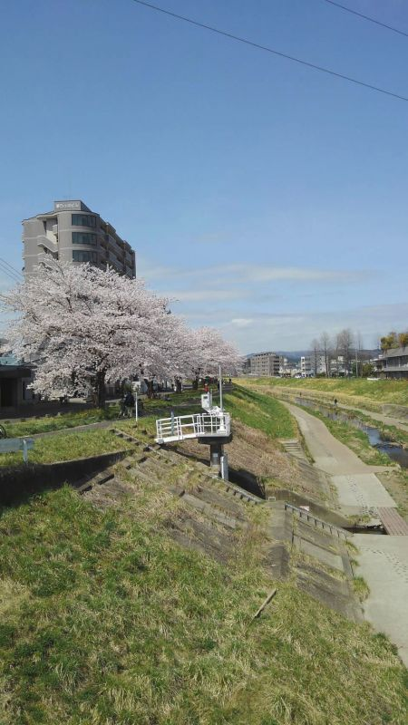 ◎東北仙台にも桜がさきました。新笊川沿いの桜並木
