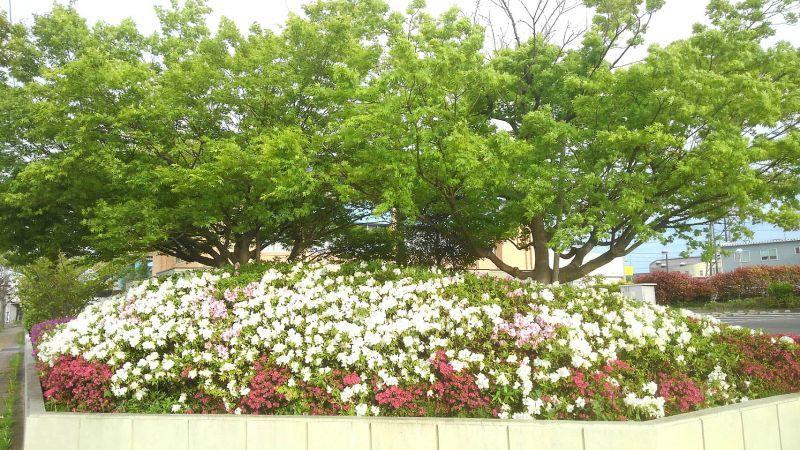 ◎仙台市民センタ-前で、ぶらお散歩  ◎あおもみじ&つつじに癒されながら。。