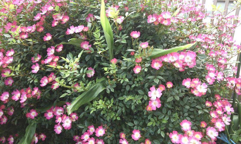 ◎五月の花 グラニウム?
