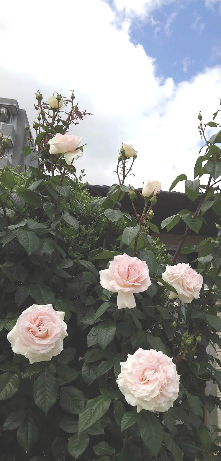 ◎花のある毎日 宮城県のバラ