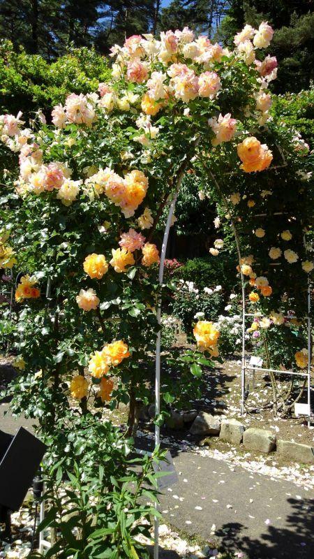 ◎ バラの花