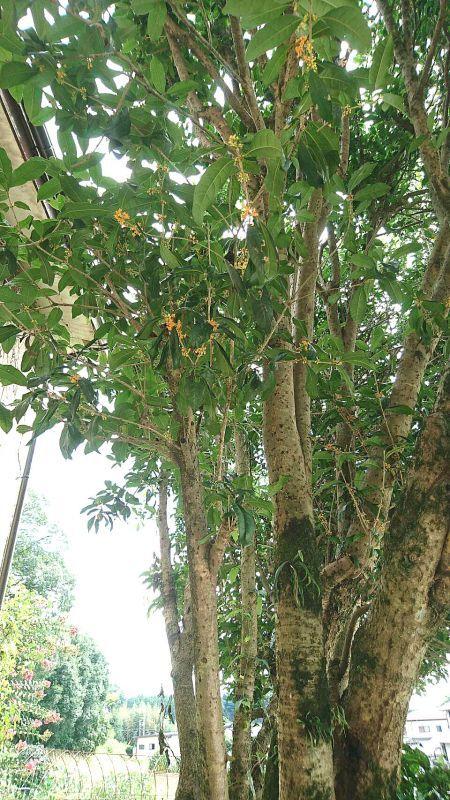 ◎金木犀~~栃木県から⇔すごい立派な木